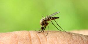 mosquitos - pest control